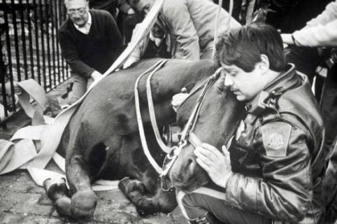 """The Story Behind the Photo: Nearly 25 years ago, Police Officer Frank Pomodoro found himself comforting his partner and police horse, Fritz, who had fallen into a sidewalk construction hole that had been covered over by a steel plate just outside the old District D-4 station which, at the time, was located in the area of Berkeley Street and Warren Ave. Pomodoro was inside the station when someone came running in and told him that his horse had fallen into a hole. When Pomodoro got outside, he immediately feared the worst. A broken leg and he knew that his partner of three years would have to be put down. In fact, according to Pomodoro, the one question he hears more often than any other when people reference the picture of his horse in the hole is whether or not Fritz survived the fall. In response to that question, Pomodoro gratefully offers the following, """"He was back to work in three weeks and, luckily, he only suffered a cut to one of his front legs."""" The enclosed photo was taken on October 31, 1989 and Frank remembers the day like it was yesterday. """"I remember it was Halloween because I had to call my wife and tell her that I wasn't gonna be home in time to give out the candy,"""" said Pomodoro. Reflecting back on that day, Pomodoro says a number of things still stick out and have stayed with him to this day. """"The compassion of people on that day is one of the things I'll never forget. It was really amazing. Perfect strangers and even one guy I had locked up came running over to help Fritz."""" Pomodoro says the help provided by perfect strangers was especially evident when the Fire Department arrived on scene and secured a rope around Fritz because there was some concern that the horse might slip or slide deeper into the hole. Pomodoro recalls, """"The rope fastened around Fritz stretched across the street and I remember there were somewhere between 15 to 20 people grabbing a hold of the rope to make sure Fritz stayed put. The compassion of perfect strangers was unbeli"""